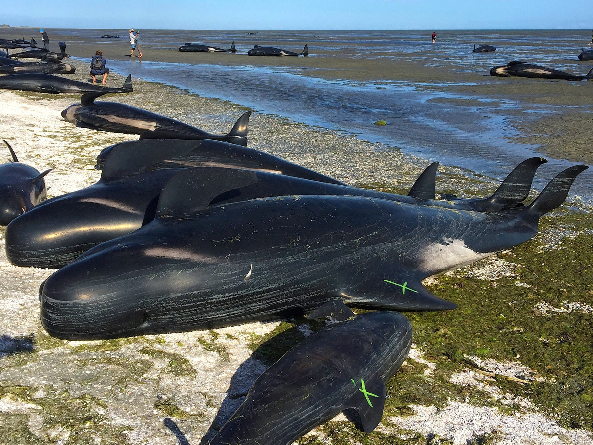 Rescue Efforts Underway As Hundreds Of Whales Stranded On Beach In New  Zealand | The Independent