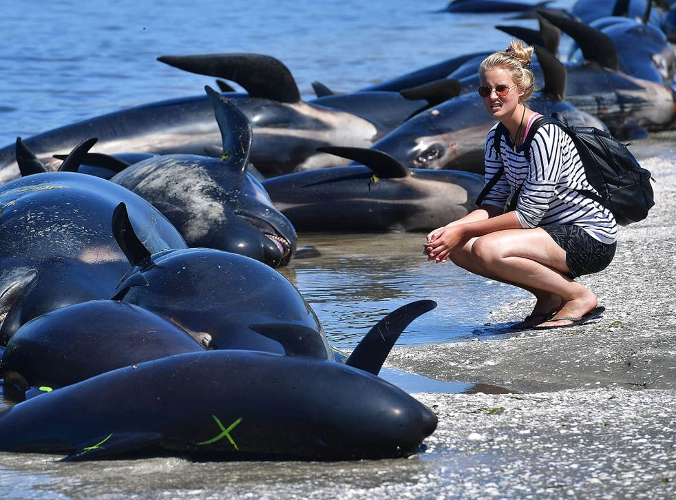 A member of the public looks at the dead Pilot whales during a mass stranding at Farewell Spit on February 11, 2017.