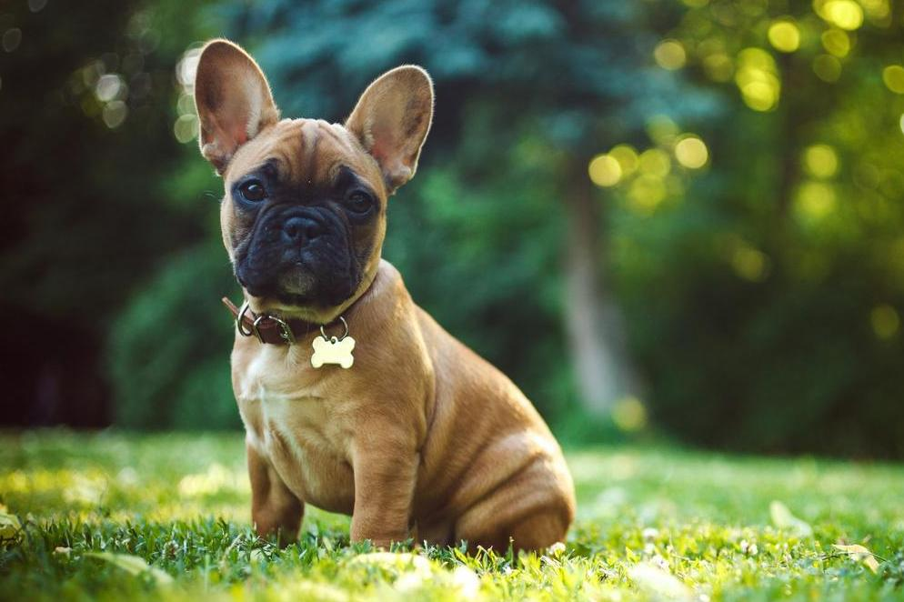 French Bulldog Set To Become Uk S Favourite Dog Breed The Independent