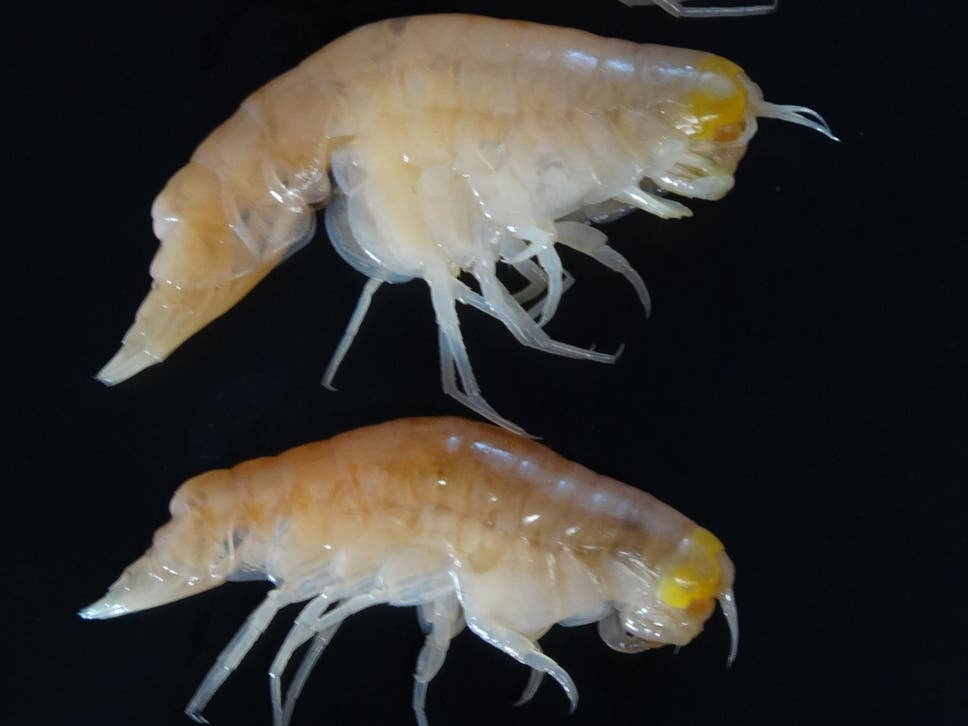 Scientists discover banned toxic chemicals in animals living in hirondellea gigas which are amphipods taken from the mariana trench were found to contain publicscrutiny Gallery