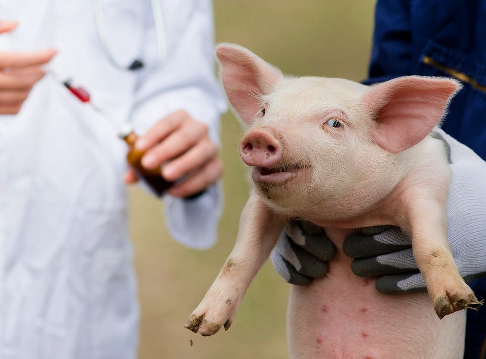 Will growing a human heart or human neurons in a pig mean that it might have been a person?