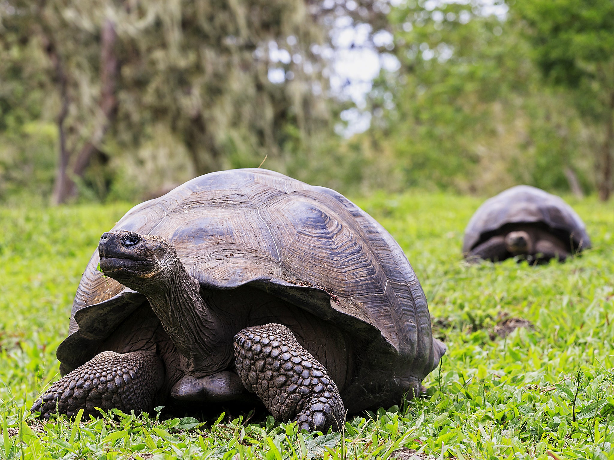 galapagos tortoise Facts and information about galapagos tortoise galapagos tortoise, behavior, feeding, reproduction, galapagos tortoise threats and more.