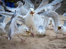 What happens when seagulls attack? 'It's a war zone, we are