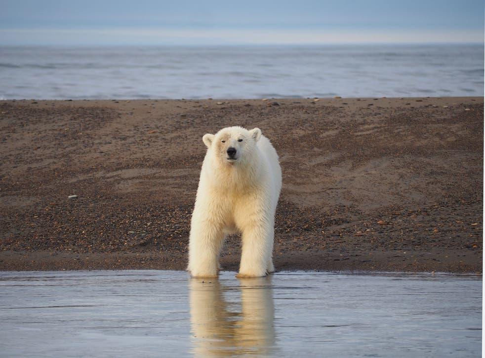 A male polar bear stares down a Kaktovik tourist boat