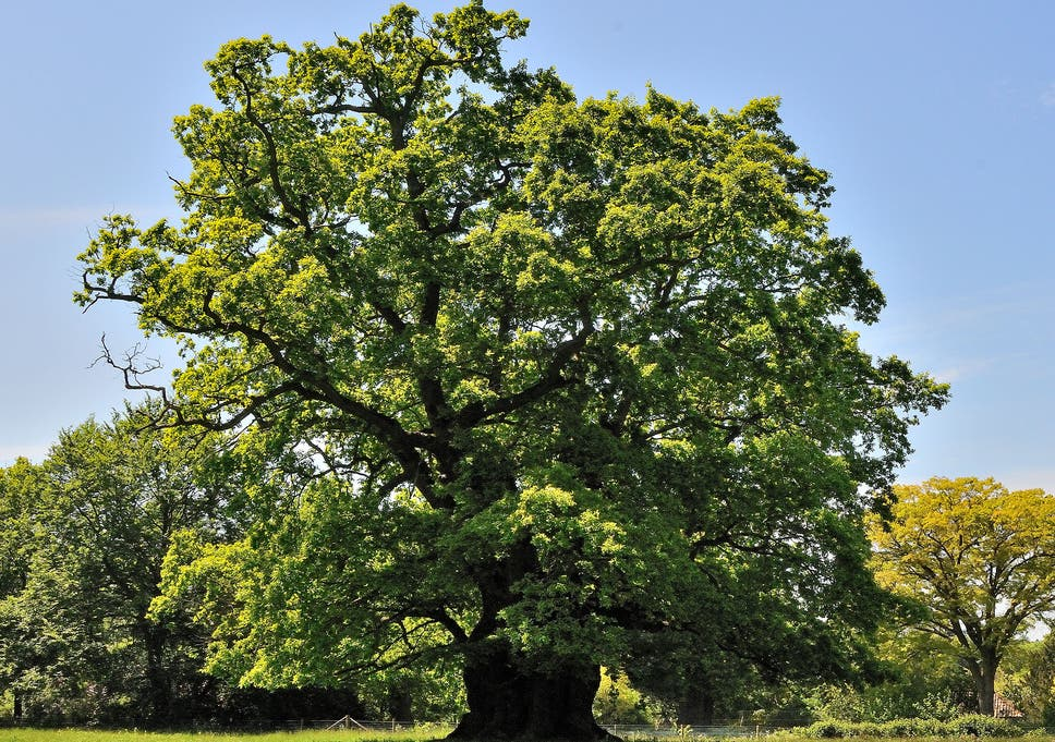 Oak Tree Meaning Table of Contents