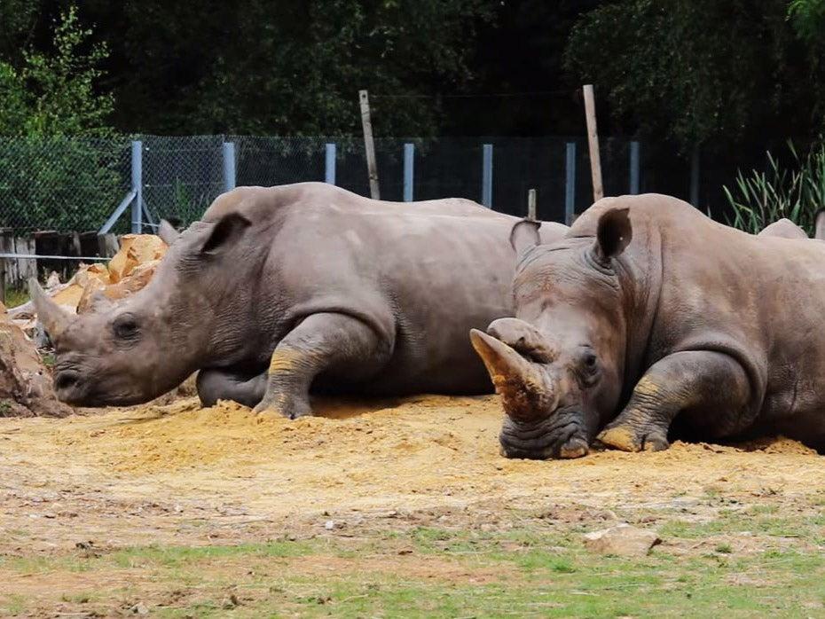 ... break into Paris zoo, shoot rhino dead and steal its horn | Rebrn.com Rhino 07