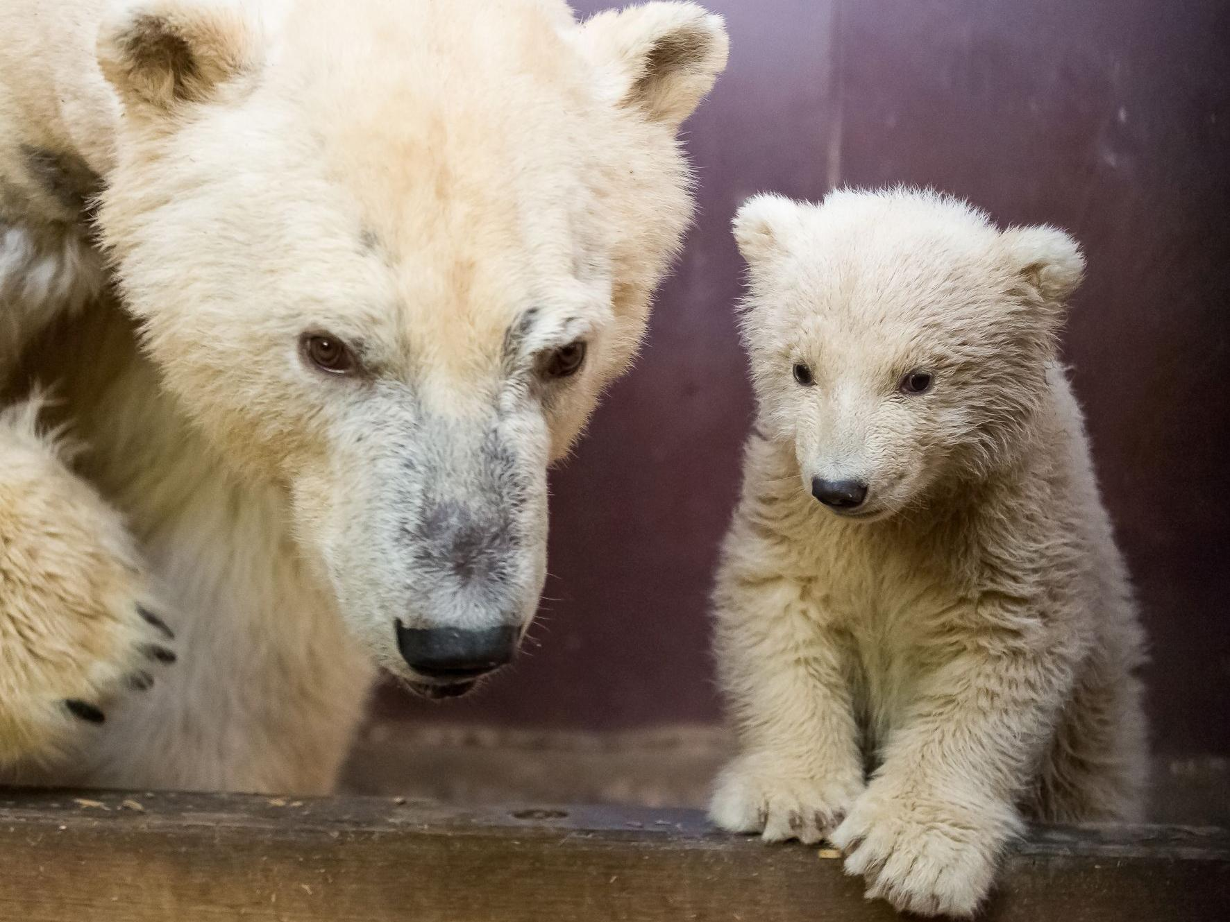 berlin zoo staff devastated over death of polar bear cub fritz the independent. Black Bedroom Furniture Sets. Home Design Ideas