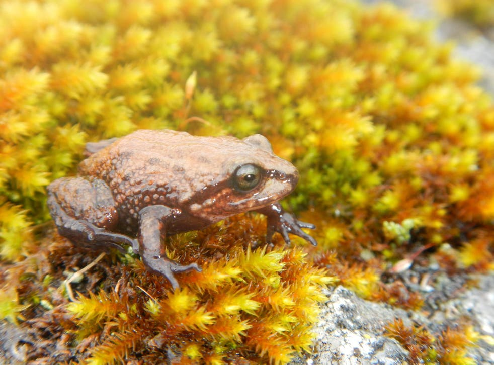 The frog was discovered in the mountains of central Peru living at altitudes of up to nearly 4,000 metres