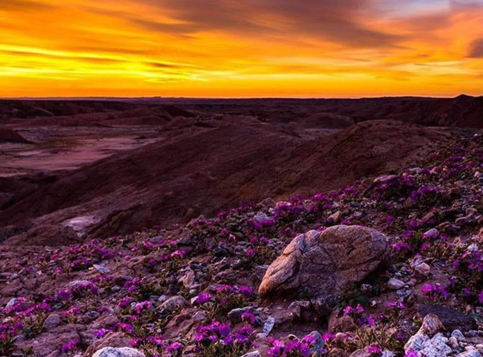 The Anza-Borrego Desert is experiencing a superbloom of wildflowers after a wet winter