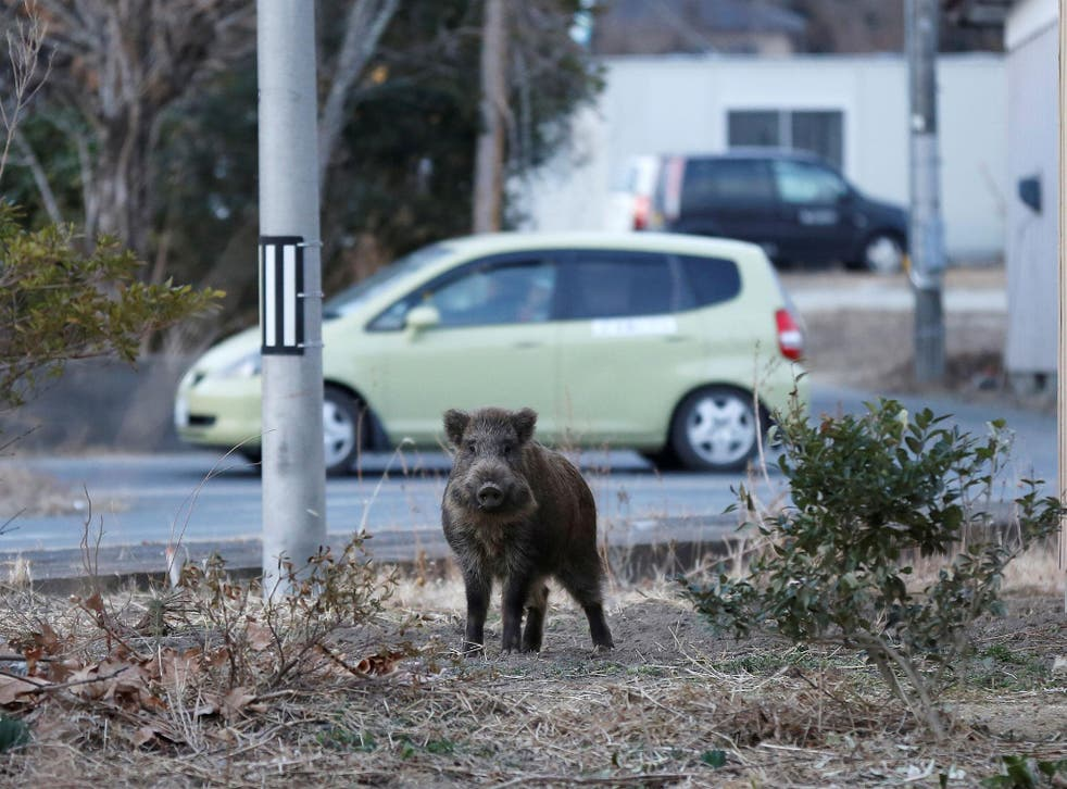 Wild boars are said to be outnumbering humans in Namie town in the Fukushima prefecture