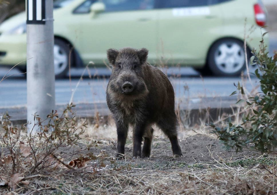Hunters deployed to kill radioactive wild boars as residents