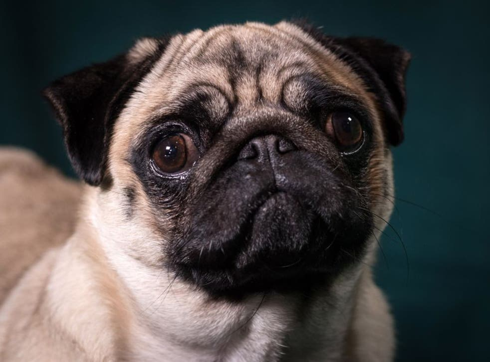 A pug poses for a photograph on the second day of Crufts. Pugs are one of several breeds with severe breathing difficulties due to selective breeding