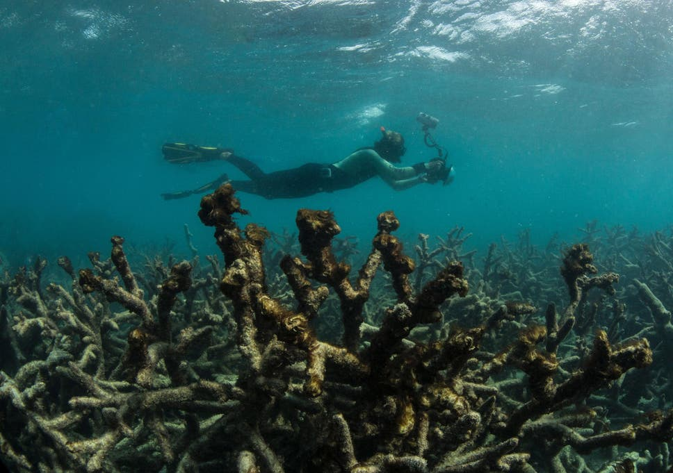 More Than 90 Percent Of World S Coral Reefs Will Die By 2050
