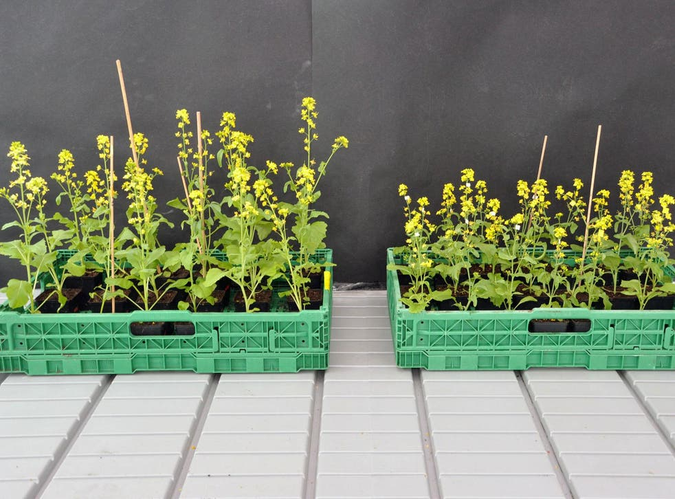 The field mustard plants on the left were pollinated by bumblebees, the smaller ones on the right by hoverflies
