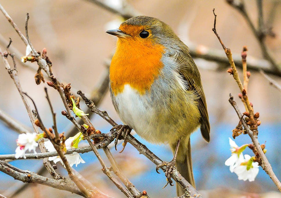 More than 800,000 songbirds illegally killed' on British