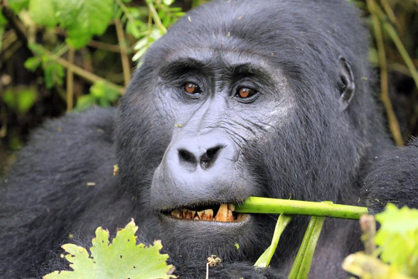 Gorilla trekking in Uganda: Learning to track the animals ...