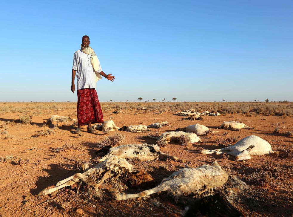 A Somali man, about to become a climate refugee within his own country, looks at the bodies of his sheep and goats near Dahar, Puntland, in December last year