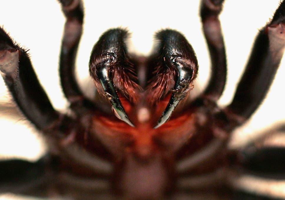 Image result for funnelweb spider venom