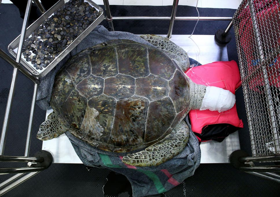 Turtle Dies After Ingesting Hundreds Of Coins That People Threw Into