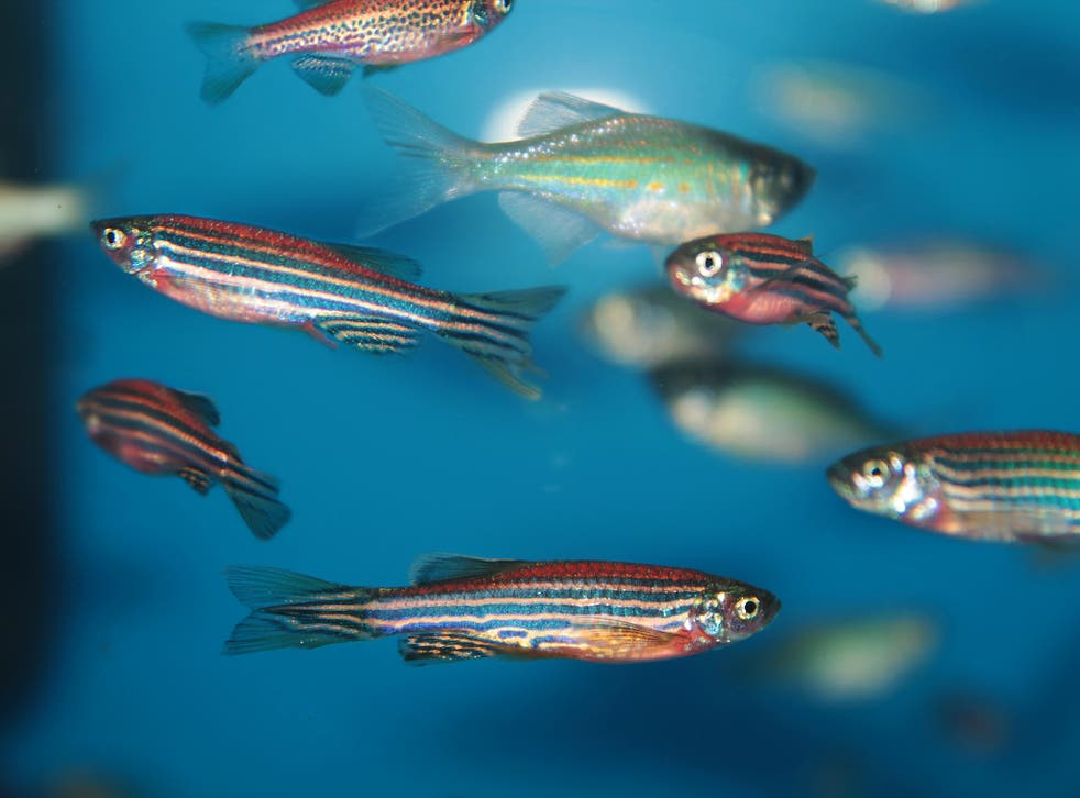 Zebrafish are less scared of danger when they are in a group