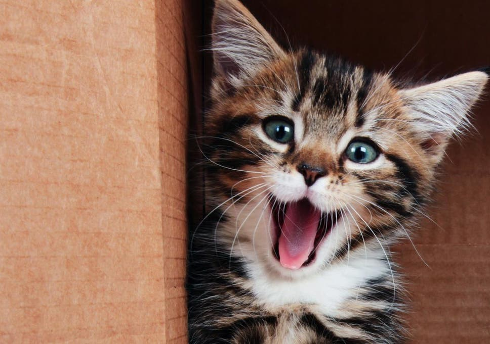 Cats are only pretending to be indifferent to humans, claims study