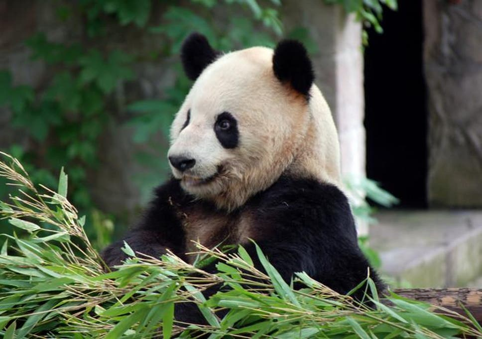 Pandas could be wiped out just as conservationists think they are