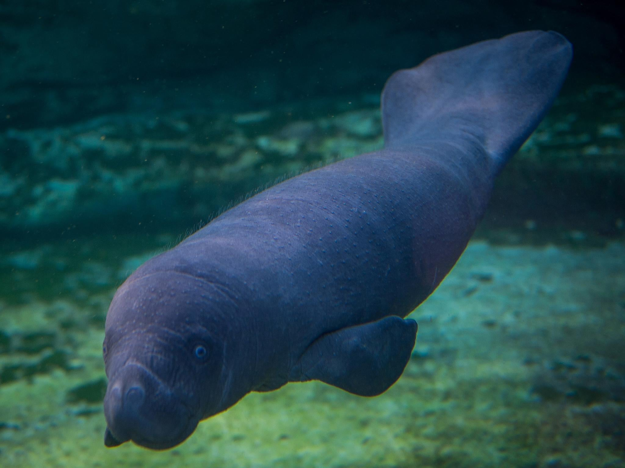Manatees are no longer classified as 'endangered' species