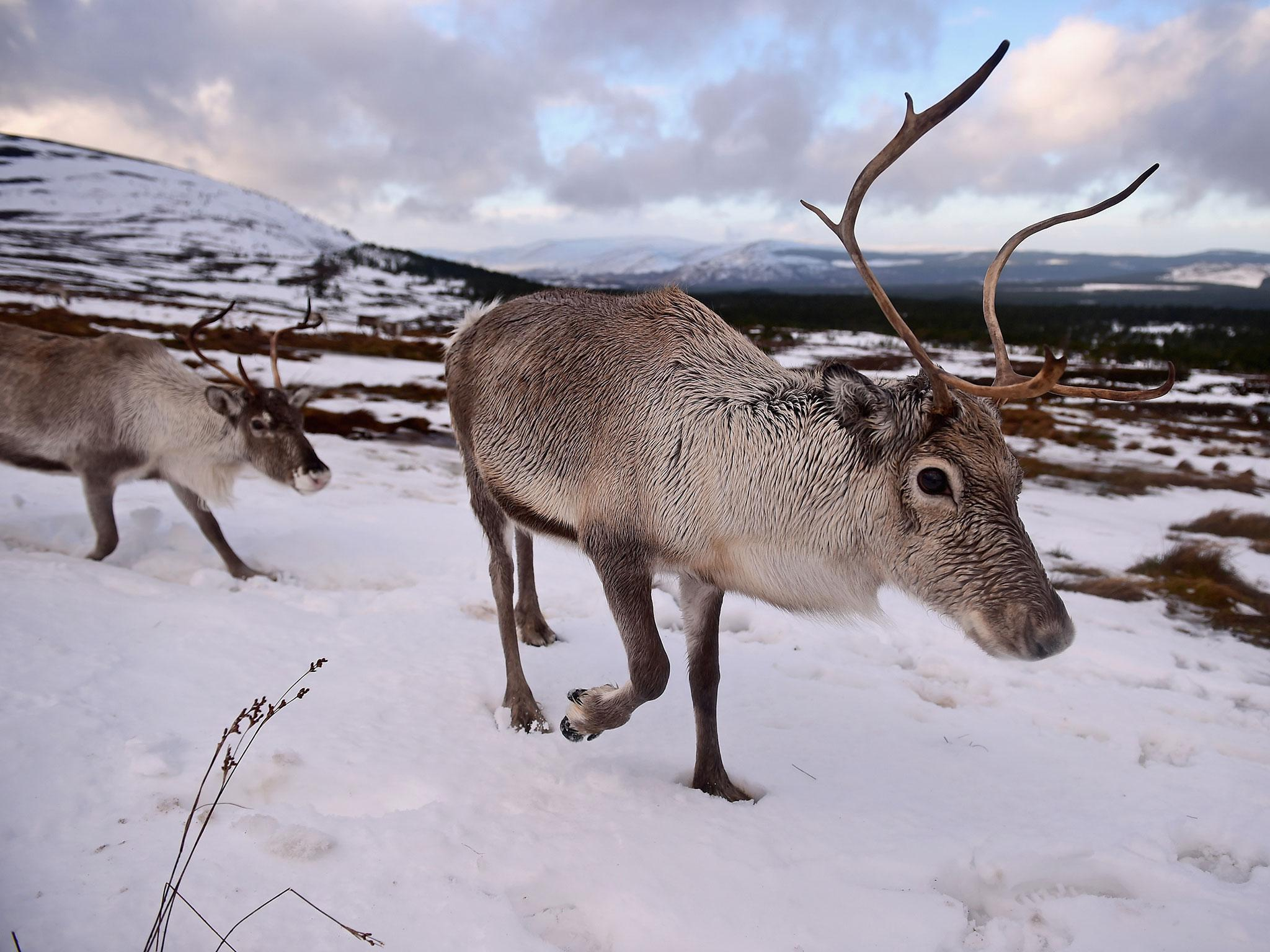 norway plans mass reindeer cull to prevent spread of wasting
