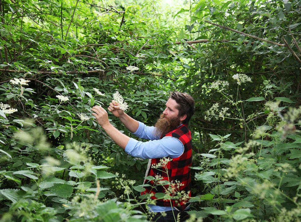 Cordial relationship: professional forager Wross Lawrence snaps elderflower stems in the wild