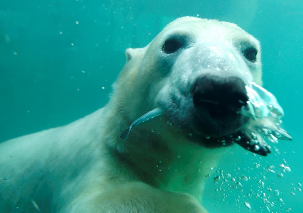Ill wind blows for polar bears with climate change set to