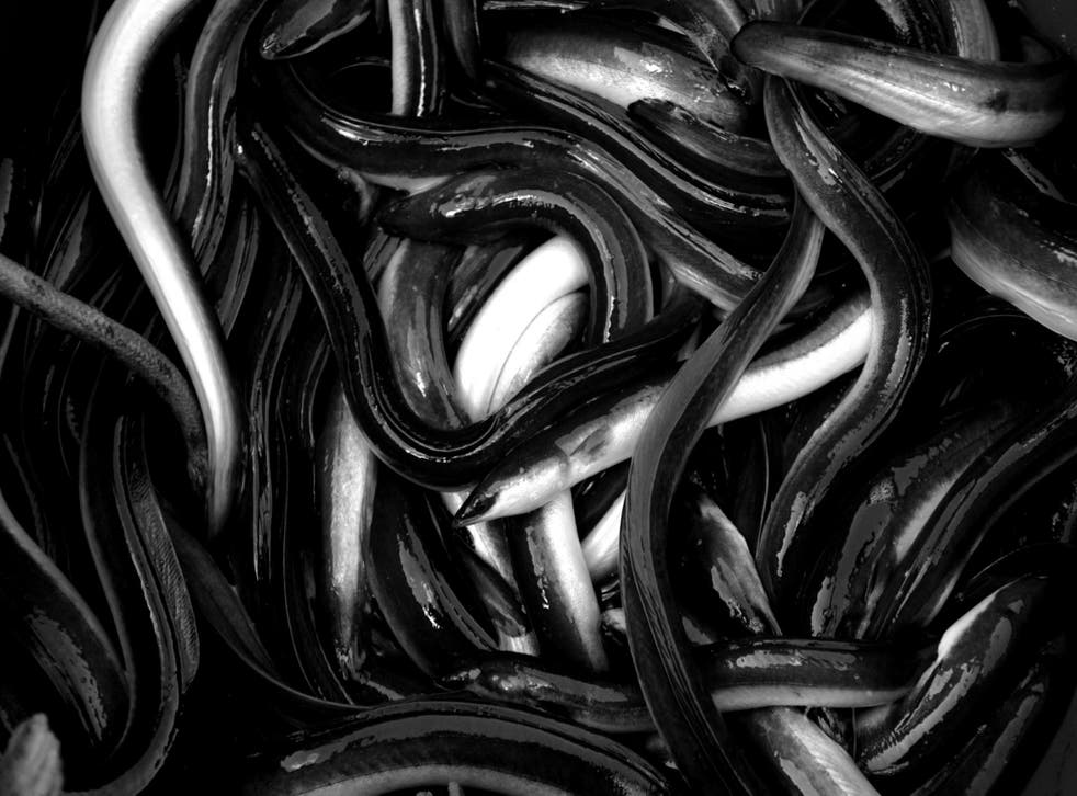 Live eels caught in the Messolongi lagoon in Greece