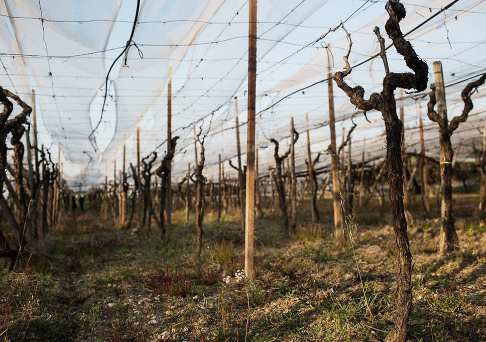 Grapes, death and injustice in Italian vineyards   The
