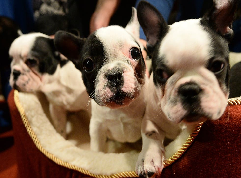 French Bulldogs expected to become UK's most popular dog in 2018