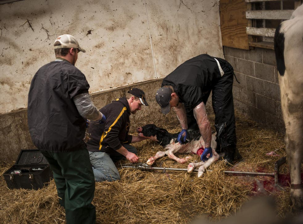 Do have a cow, man: Luke Gartman (centre) attend to a newborn calf at the family farm in Sheboygan, Wisconsin. He worries deeply for the future