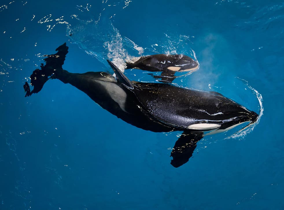 Mother Takara helps guide her newborn to the water's surface at SeaWorld San Antonio on Wednesday
