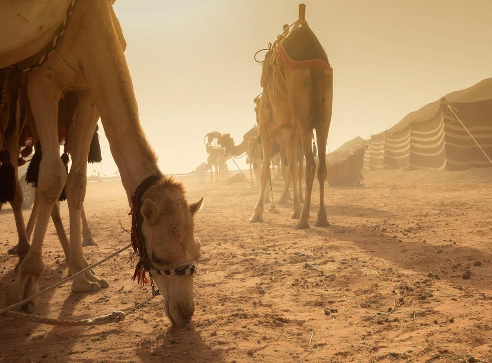 Many in Saudi Arabia predicted that the desert way of life would die out with the invention of cars – but well into the 21st century, around four million camels remain an important part of daily life in the kingdom