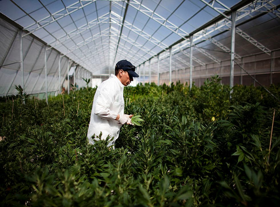 George McBride of VolteFace, a UK drugs policy think tank, said that large companies who sell production-line machinery will be best placed to take advantage of legalisation in the UK