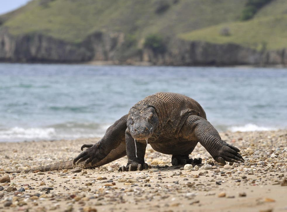 A Komodo dragon searches the shore area of Komodo island for prey