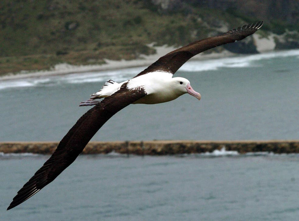Albatross are attracted to fishing boats