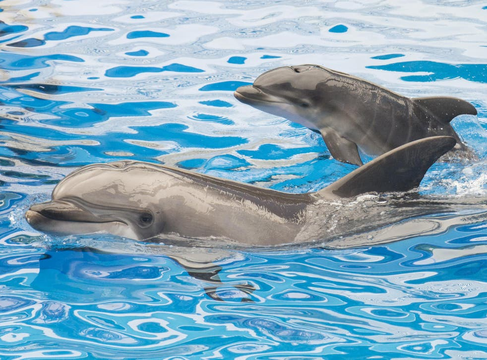 Dolphins are thought to have bigger brains than humans