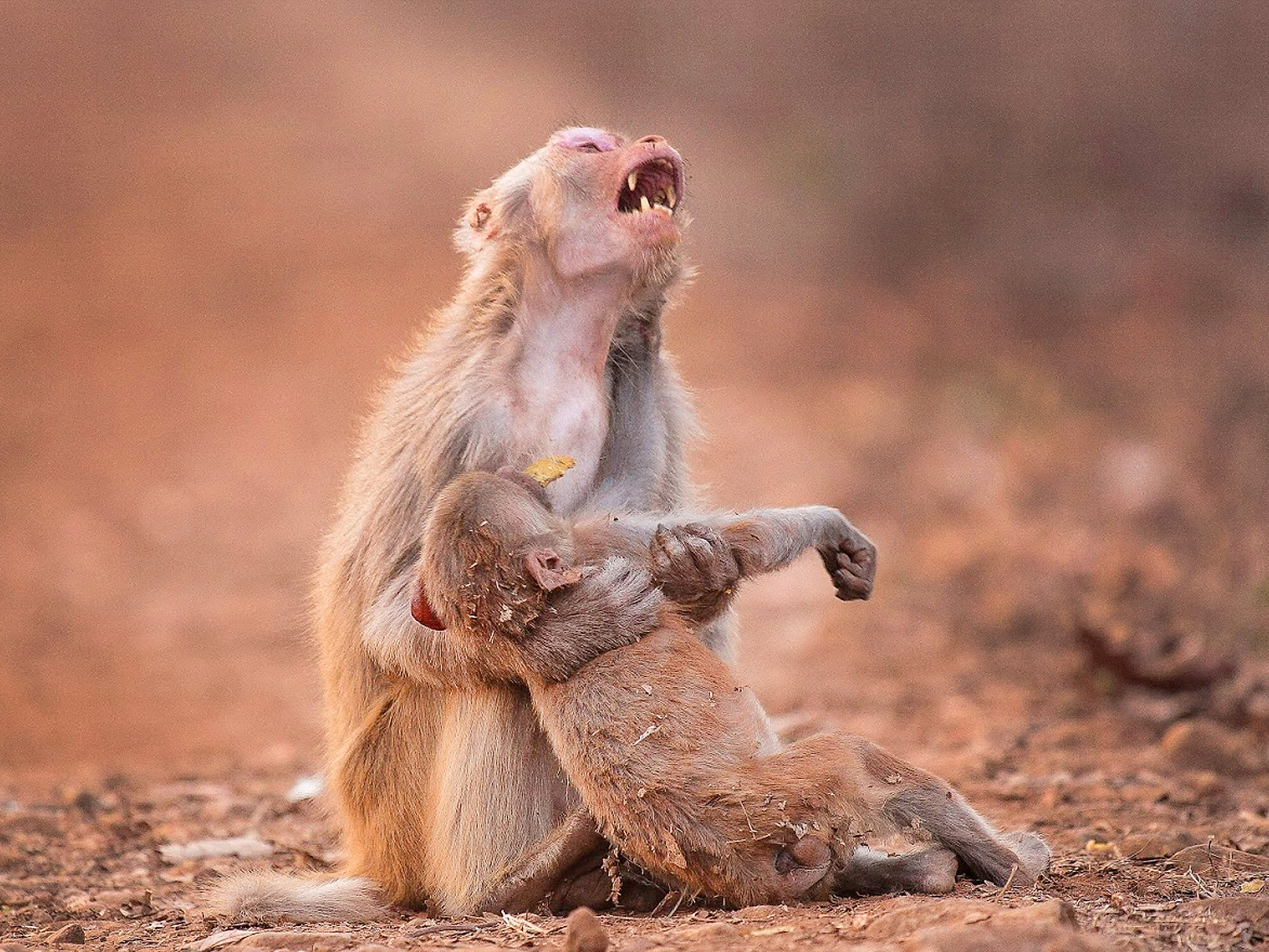 Monkey appears to mourn 'dead' infant in moving photograph ...