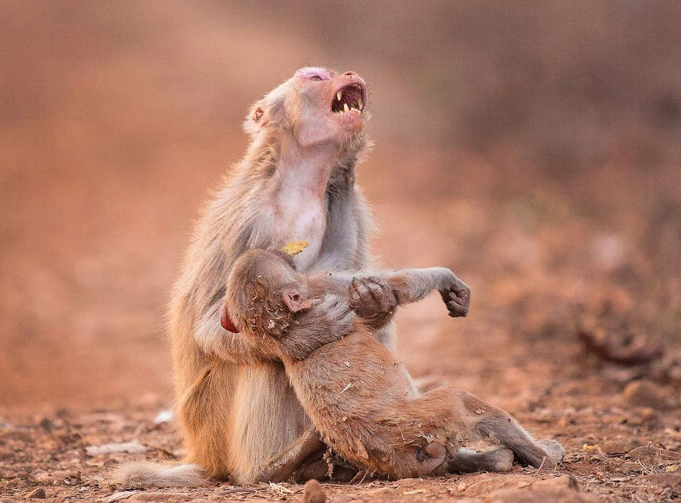 Monkey appears to mourn 'dead' infant in moving photograph   The  Independent   The Independent