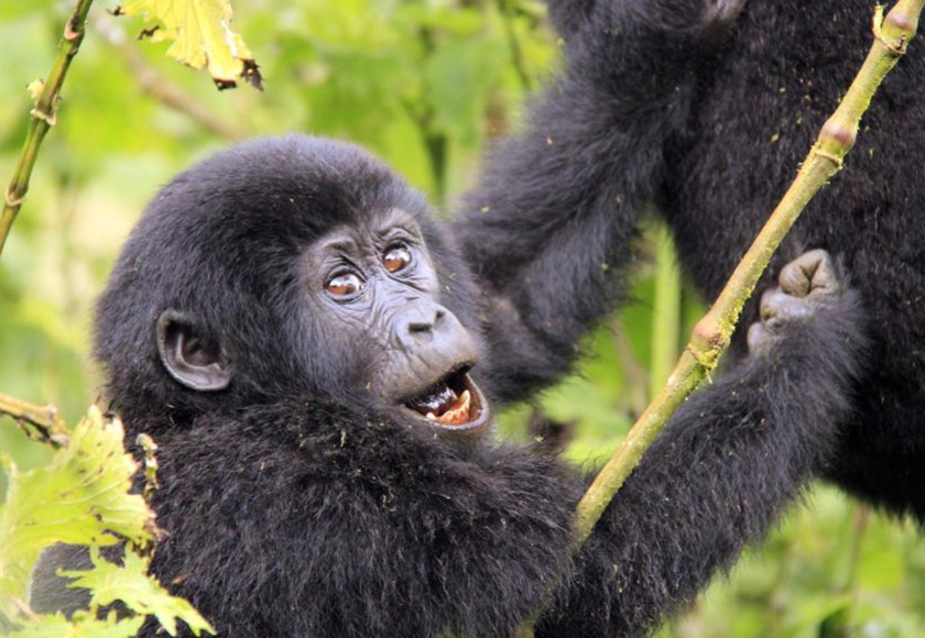 Rwanda doubles its fee for gorilla trekking