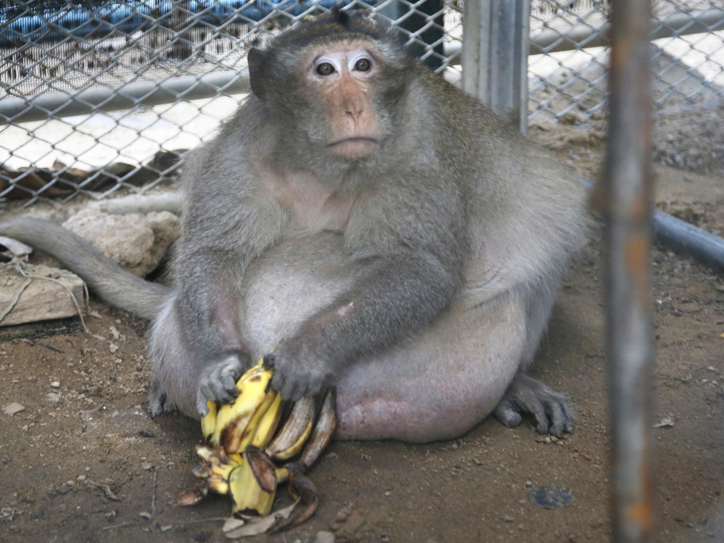 uncle fat the morbidly obese monkey placed on diet in thailand