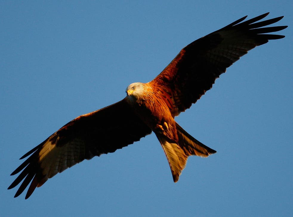 Red kites have been a relative success story with numbers increasing significantly