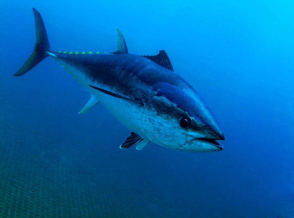 Southern bluefin tuna feature on IGFA's world record list despite being critically endangered