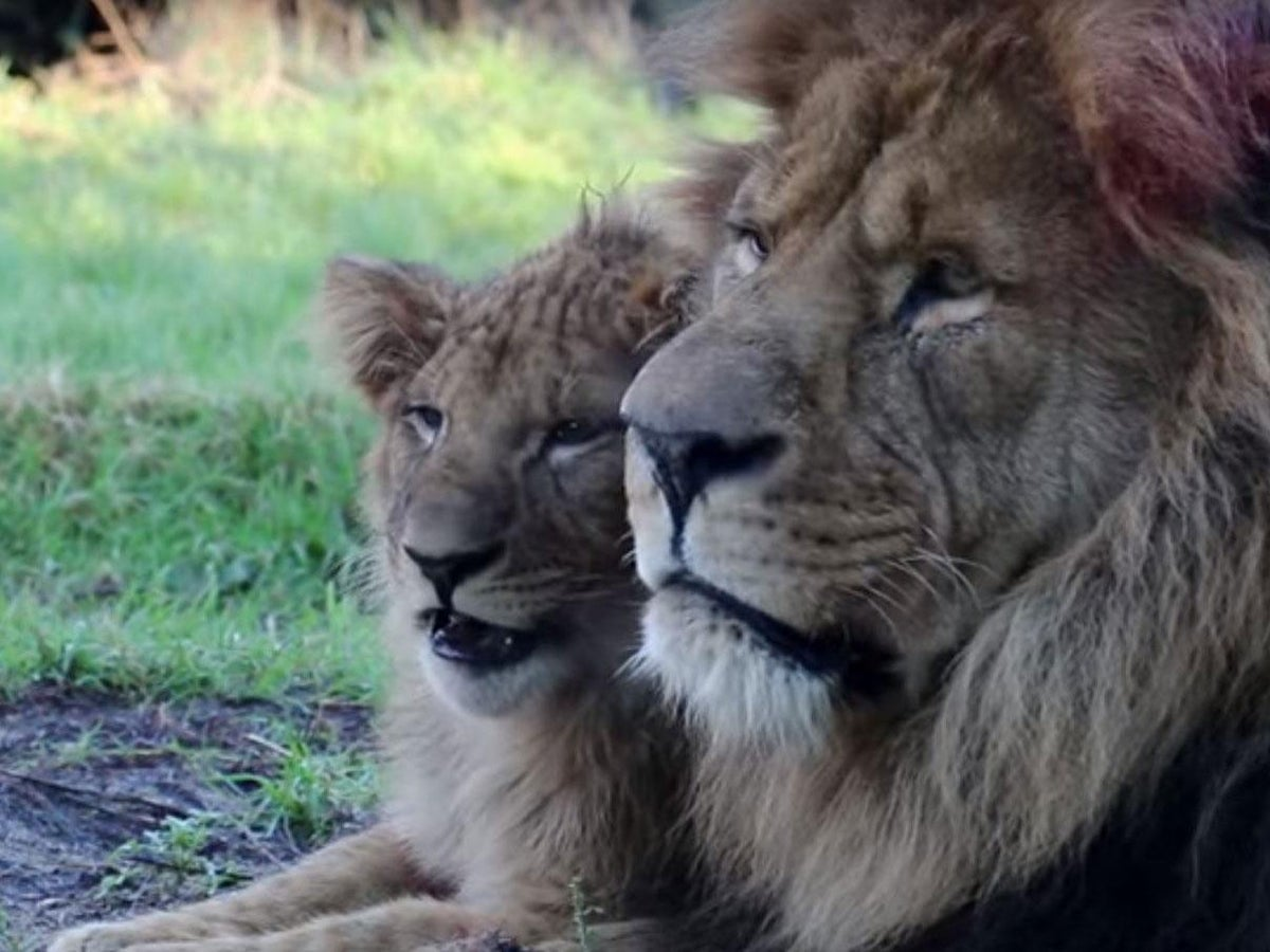 Happy Father S Day Lion Raises His Son After Mum Dies Of A Stroke The Independent The Independent