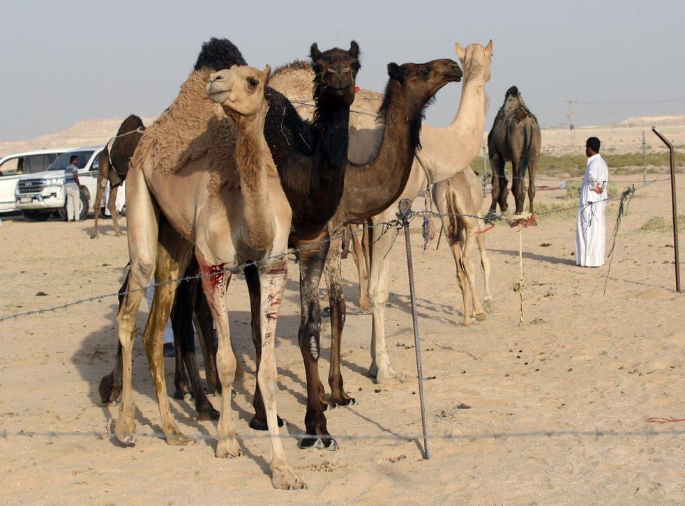 Camels cross Saudi Arabia's remote desert border into Qatar on 20 June 2017