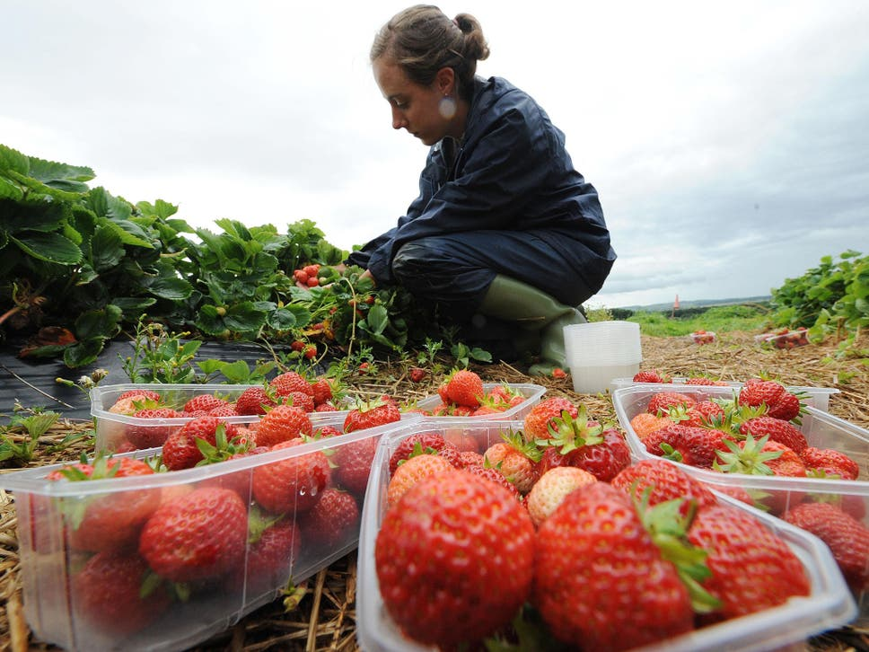 Brexit british strawberry prices set to soar by 50 as fruit farms around 95 per cent of the 29000 seasonal labourers who pick fruit in the uk are fandeluxe Images