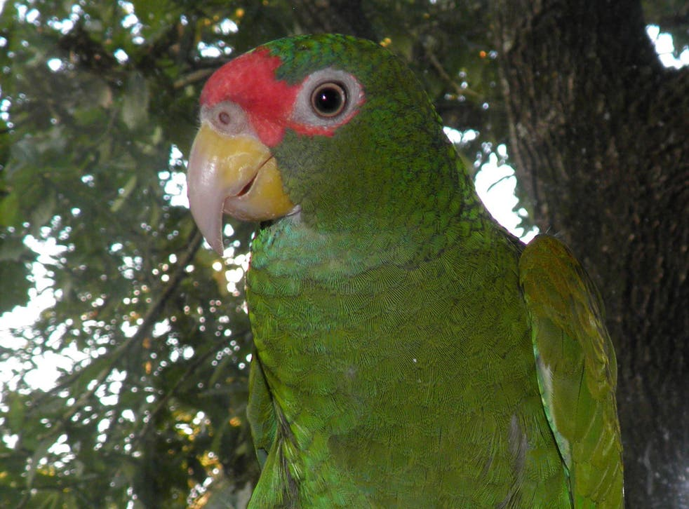 Parrot fashion: the newly discovered blue-winged amazon loudly cries 'yak yak yak' in flight but adopts a more 'melodious' tone with its family
